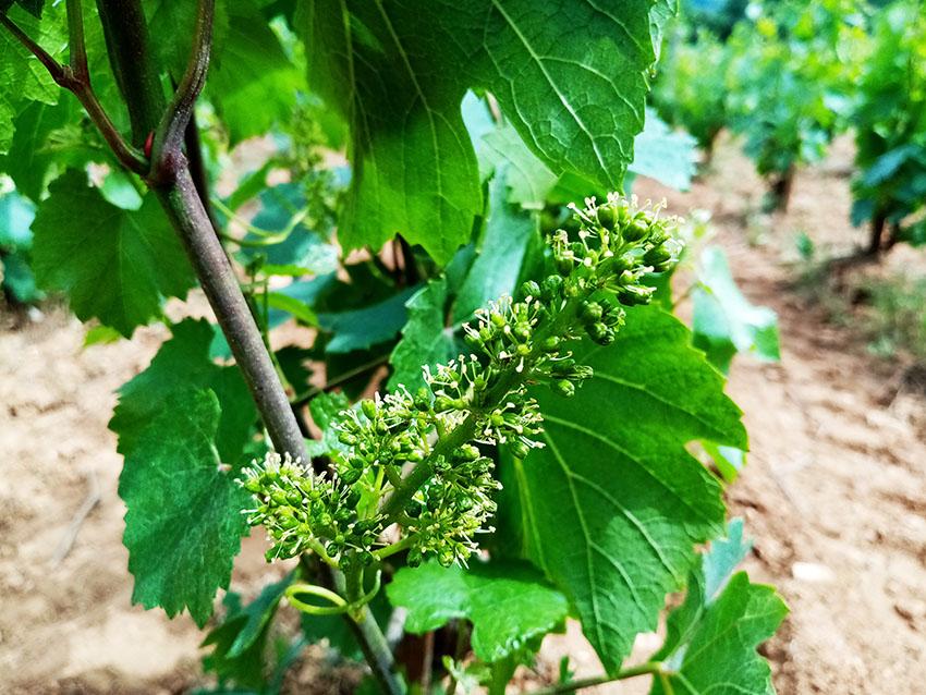 La vigne est en fleurs